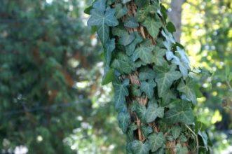 rośliny doniczkowe naturalne filtry - bluszcz pospolity