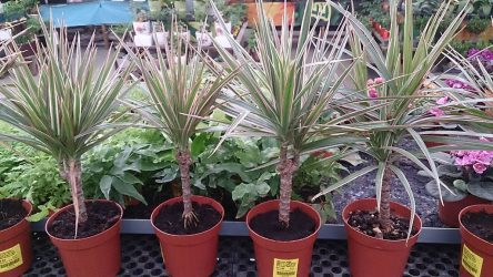 rośliny doniczkowe naturalne filtry - dracena obrzeżona