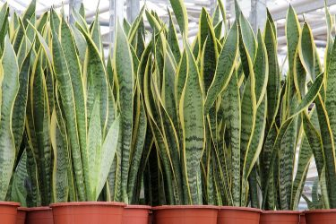 rośliny doniczkowe naturalne filtry -sansewiera gwinejska