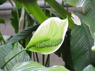 rośliny doniczkowe naturalne filtry - skrzydłokwiat