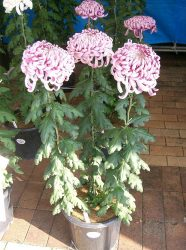 rosliny doniczkowe naturalne filtry - zlocien wielkokwiatowy